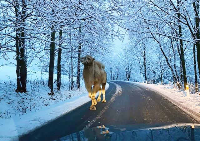 В Чехии водитель повстречал на заснеженной дороге верблюда