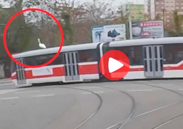 В Брно лебедь прокатился на крыше трамвая: видео