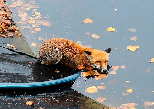 В Праге пожарные спасли дикую лисицу