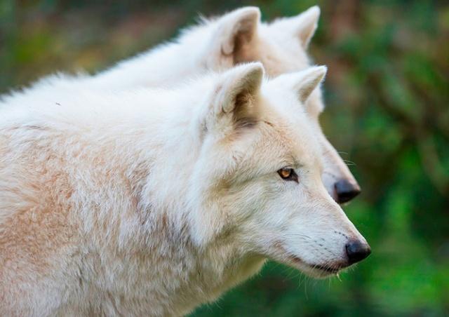 В чешском зоопарке из загона сбежали четыре волка