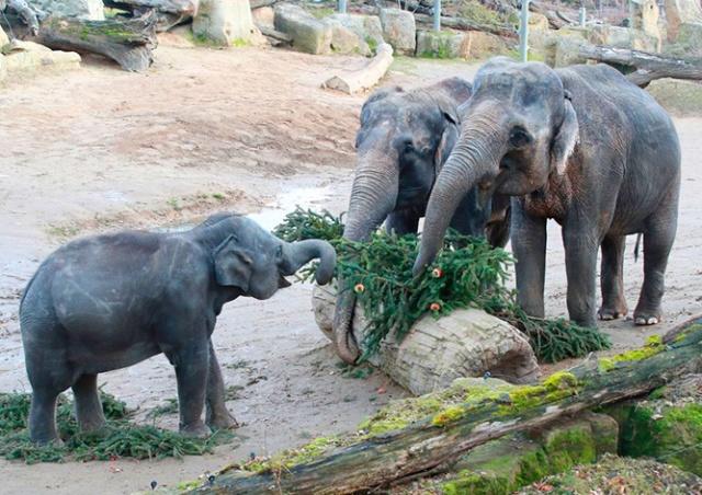 Главную рождественскую елку Праги скормили обитателям зоопарка