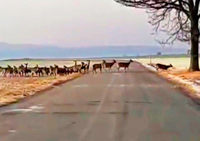 «Бесконечное» стадо оленей в Чехии попало на видео