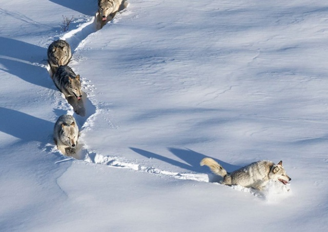 «Шерстяной волчара» из популярного мема оказался волчицей