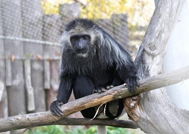 Из чешского зоопарка сбежала обезьяна