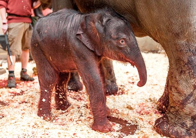 В Пражском зоопарке родился слоненок