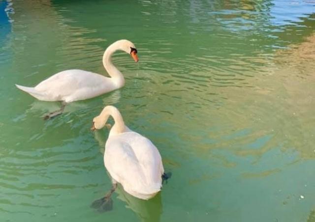 Воды Венеции очистились без туристов: вернулись лебеди и дельфины
