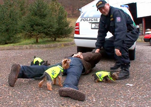 Улыбнитесь: умилительное видео о службе йорков в чешской полиции