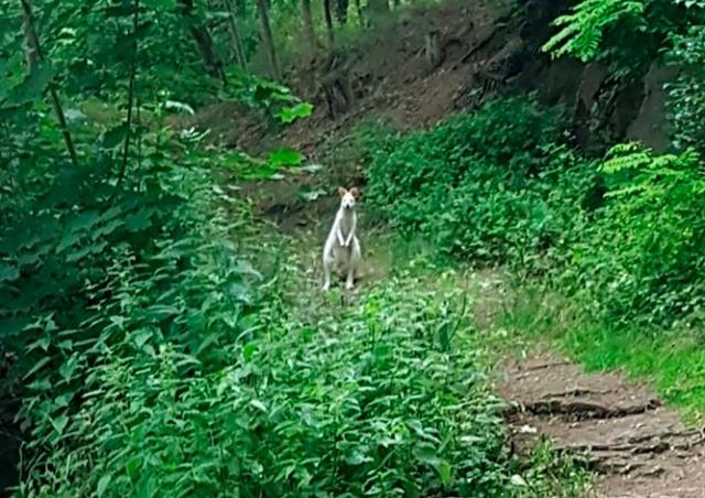 Полиция предупредила жителей Чехии о белом кенгуру