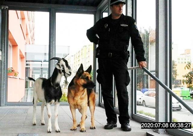 В Чехии пёс с козлом сбежали из дома и прогулялись по городу: видео