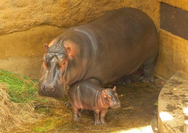 В чешском зоопарке родился бегемотик