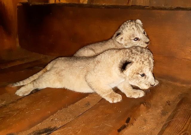 В чешском зоопарке родились редкие львята