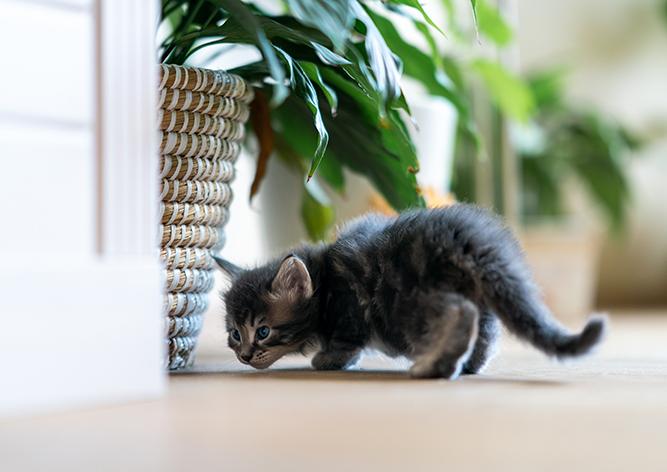 Лучший подарок на Рождество? Это котята мейн-куна!
