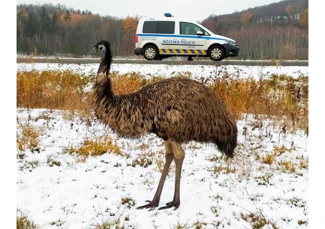 В Чехии полицейские два дня гонялись за страусом, но так и не поймали