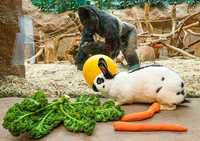 В Пражском зоопарке кроликам поручили развлекать горилл: видео