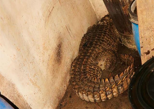 Чешские пожарные наткнулись в горящем доме на живого крокодила