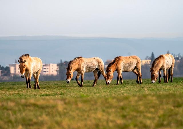 На холме в Праге обустроили выгон для лошадей Пржевальского: видео