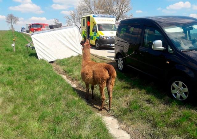 В Чехии произошло ДТП с участием ламы