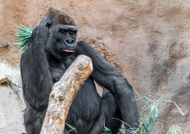 В Пражском зоопарке умерла горилла Бикира