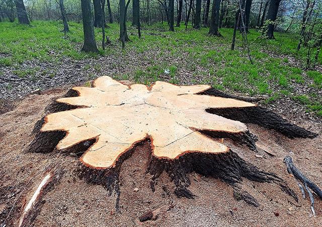 В Чехии из-за ошибки лесничего напрасно спилили 300-летний дуб