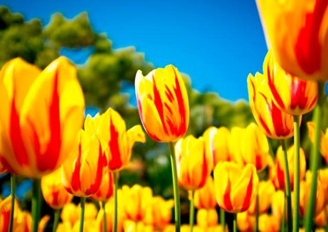 Прага 3 бесплатно раздаст луковицы тюльпанов и нарциссов
