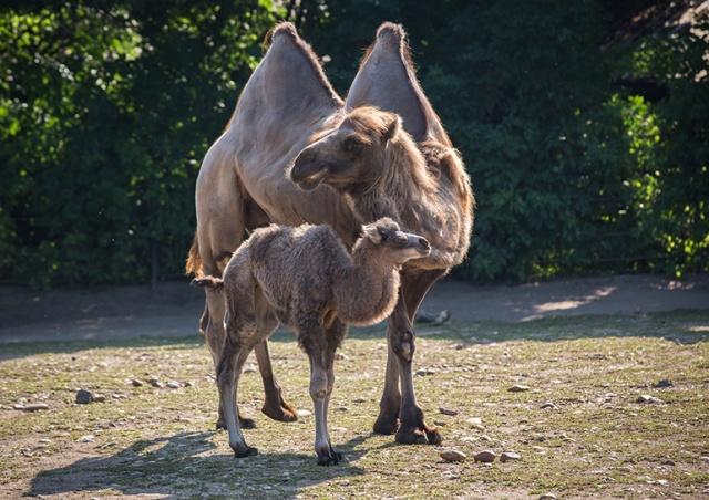 В Пражском зоопарке родился верблюжонок