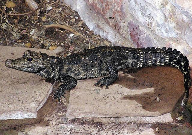 Владельцу сбежавшего крокодила грозит штраф до 1 млн крон