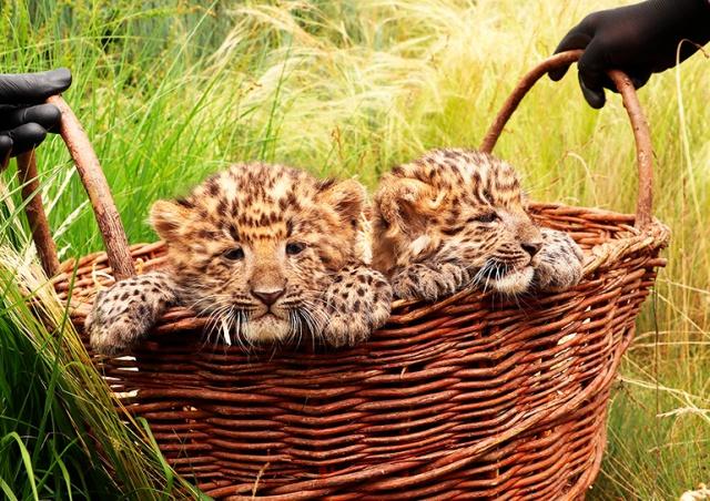 Чешский зоопарк дал имена новорожденным котятам редкого леопарда