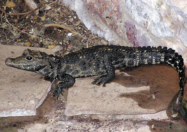 Жителей Чехии предупредили о голодном крокодиле-беглеце