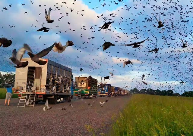 В Чехии 32 тыс. почтовых голубей поучаствовали в гонке через всю страну: видео