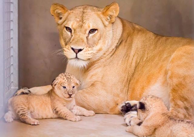 В чешском «Сафари-парке» родились редкие львята: видео
