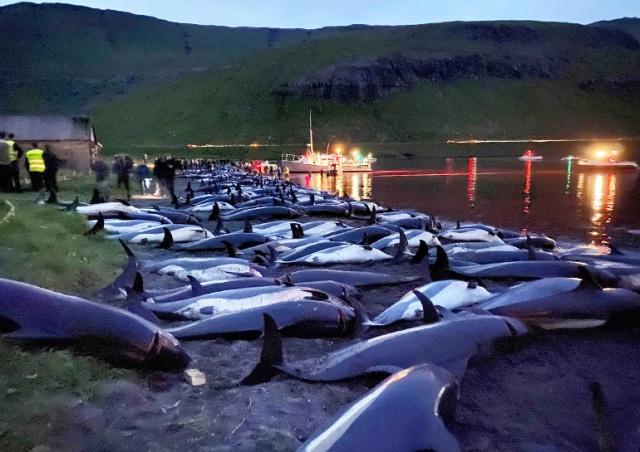 Кровавая традиция: на Фарерских островах разом убили 1428 дельфинов