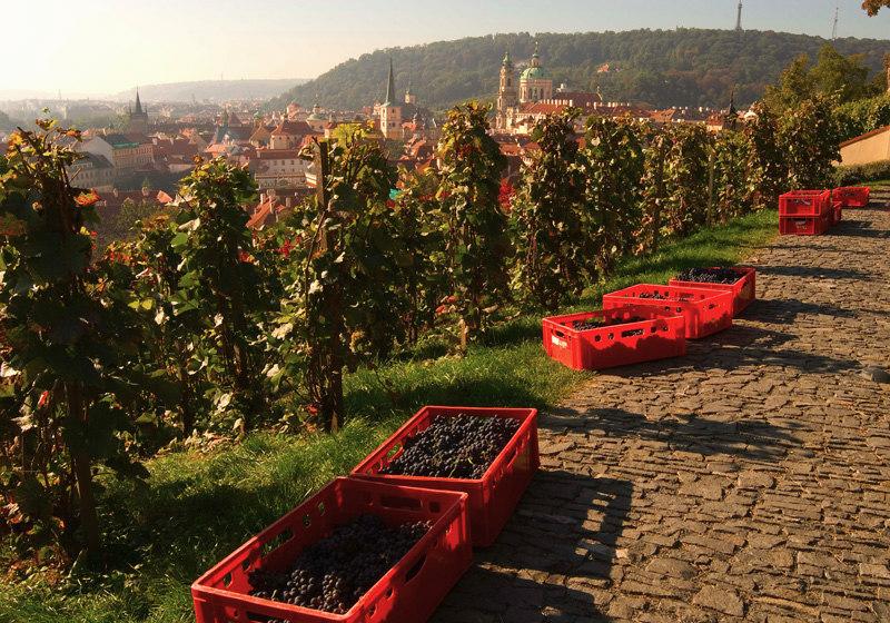 Святовацлавский виноградник винобрани