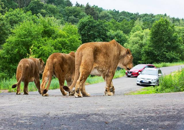 Видео: в Чехии открылось первое сафари со львами