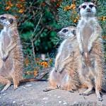 сурикаты-пражский-зоопарк