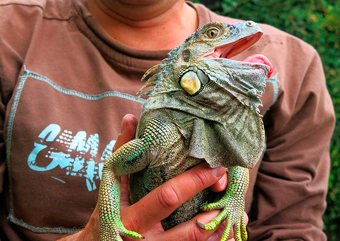 В Чехии грибники нашли в лесу метровую игуану
