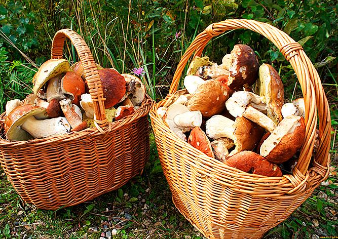 В Чехии подсчитали собранные жителями грибы и ягоды - vinegret