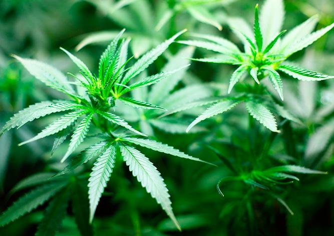Мифы и факты о марихуане в Чехии