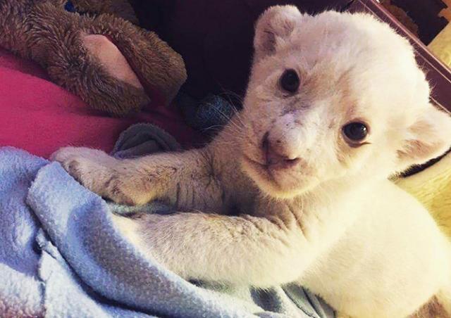 Пражан пригласили поиграть с белым львенком