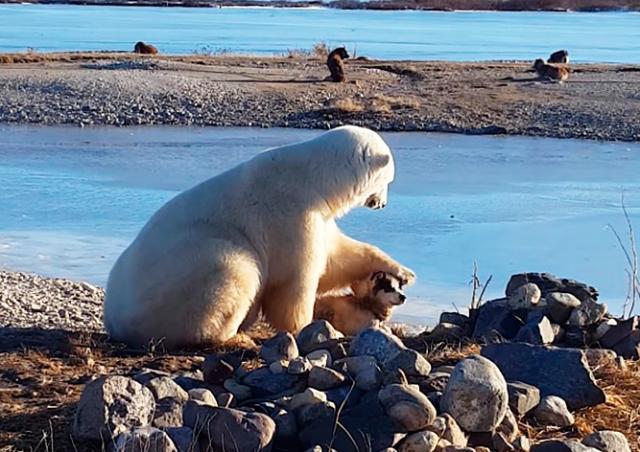 Необычная дружба: белый медведь погладил собаку на глазах у туристов