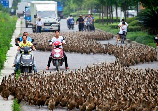В Китае 20 тысяч уток-пешеходов устроили дорожную пробку
