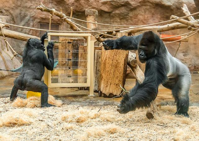 Видео: пражские гориллы безуспешно бьются над новой головоломкой