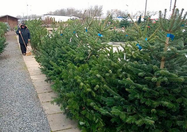 Чешские продавцы не стали повышать цены на рождественские ёлки