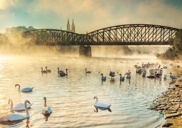 В Праге от птичьего гриппа умер второй лебедь