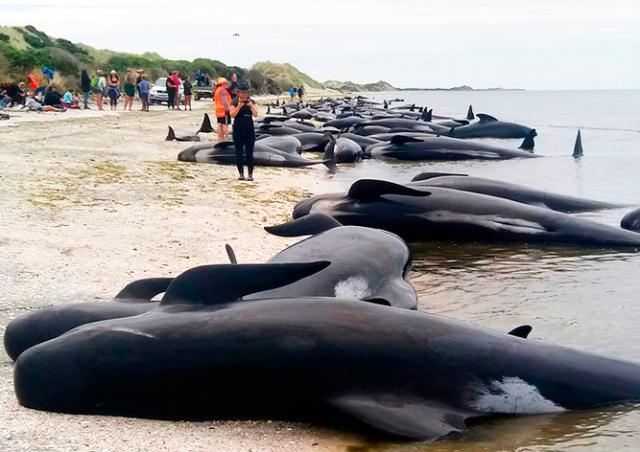 Более 400 дельфинов-гринд выбросились на берег в Новой Зеландии