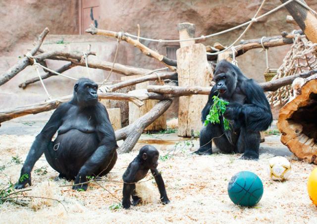 Благодетель пожертвовал пражским гориллам 4 млн крон