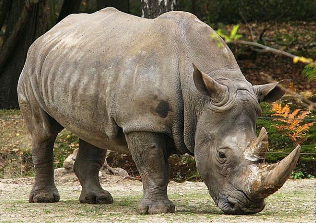 Во Франции браконьеры убили носорога прямо в зоопарке