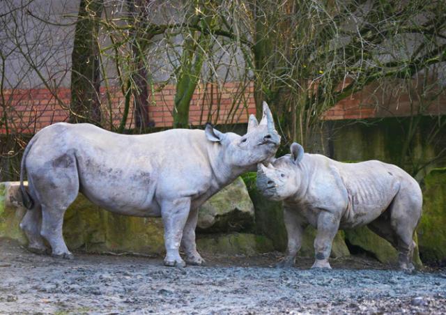 Чешский зоопарк спилит рога всем своим носорогам